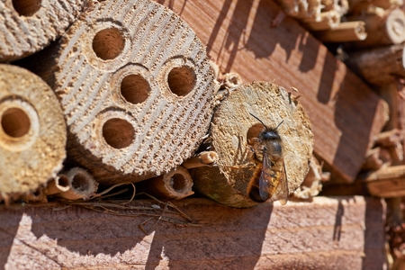 Red Mason bee inspecting a potential nesting site.