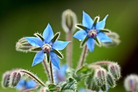 Borage borago officinalis starflower edible flower with bright blue petals on natural green background.