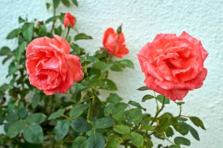 Coral rose flower in roses garden. Top view. Soft focus. Stock Photo