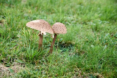 Panther mushroom Amanita pantherina photographed in the forest in the Eifel Germany.