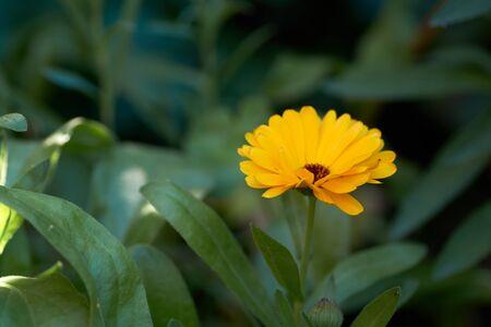 Orange pot marigold bloosom - Calendula officinalis field.