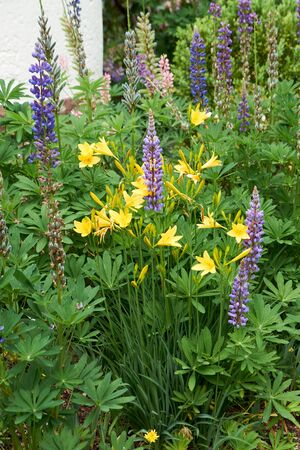 Blooming lupine flowers. A field of lupines. Violet and pink lupin in meadow.