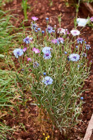 Blue Cornflower flower - Latin name - Cyanus segetum Centaurea cyanus. Banque d'images - 149578428