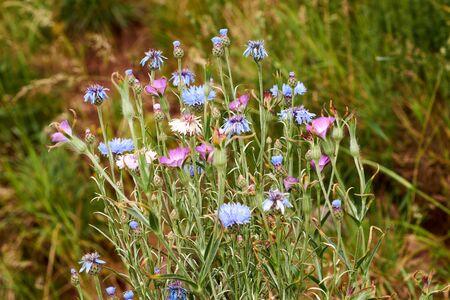 Blue Cornflower flower - Latin name - Cyanus segetum Centaurea cyanus. Banque d'images