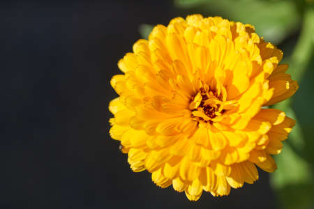 Garden marigold, Ruddles, it's botanical name is Calendula officinalis. Banque d'images
