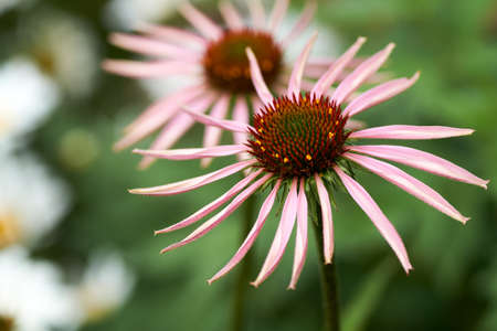 Blooming medicinal herb echinacea purpurea or coneflower, close-up, selective focus in the center of flower.