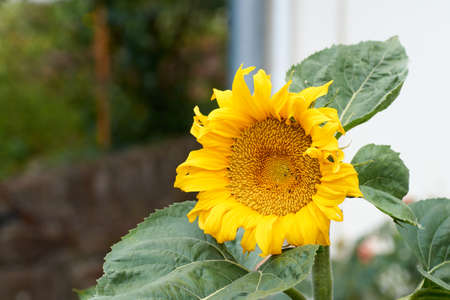 Bright yellow sunflower on green sunny background