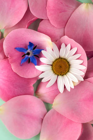 Background texture of beautiful delicate pink rose petals and daisy, marguerite flower Banque d'images