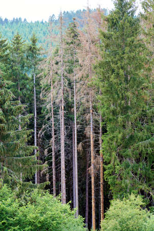 Dying forest in Germany. Through climate change. Banque d'images