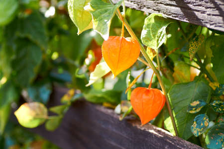 The berry of the physalis in the red shell on the branch - Physalis peruviana