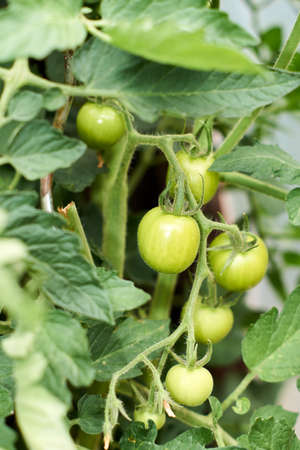 Green Tomatoes in a garden close up