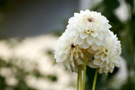 Dahlia flower called Dahlia Sylvia, grown in a garden Banque d'images