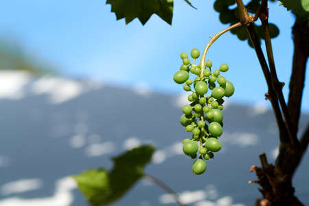 Wine grapes hanging on a bush in a sunny beautiful day