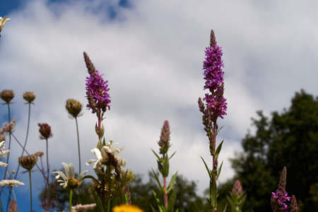 close up of Lythrum salicaria flower blooming, common names are purple loosestrife.