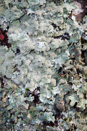 Rough speckled shield lichen Punctelia rudecta with blue-green foliose thallus, isidia.