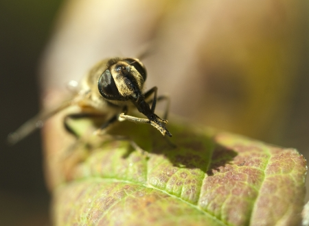 honeybee has a rest on a leaf