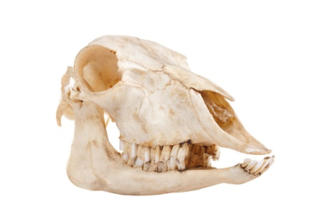 Ð¡utout skull of domestic horse on a white background  Equus caballus