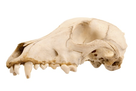 Cutout of canine dog skull with jagged teeth photo