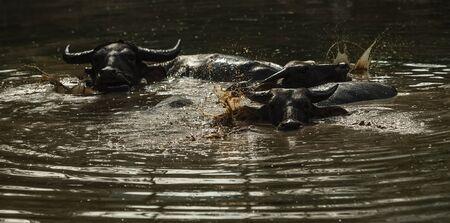 Buffalo soak bathe in river