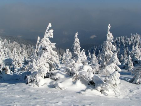 Snowbound firs. Winter landscape. Snowbound forest in the mounts.