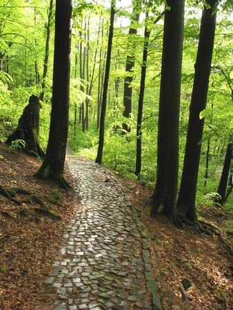 Old abandoned road.  Old pavement in the beech forest. Woods paved ray after rain.