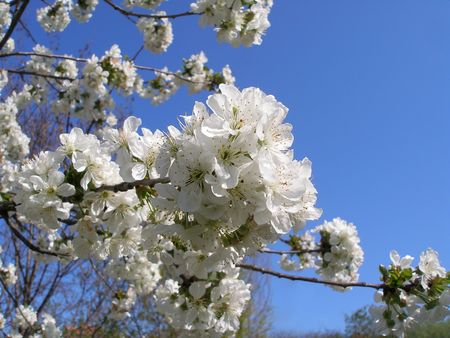 Blossom. Flowering branch of cherry. Spring blossom. Cherry in bloom.  Stock Photo