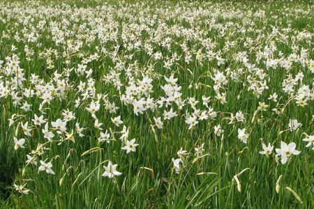 Field of wild narcissuses in the Carpathians Biospheric reserve. Flowering Narcissus angustifolius. Blossoming �valley of narcissuses� is brought in UNESCO Stock Photo