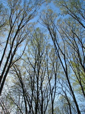 Spring woods. Silhouette of the trees in the spring forest. Sylvan upper part.  Stock Photo