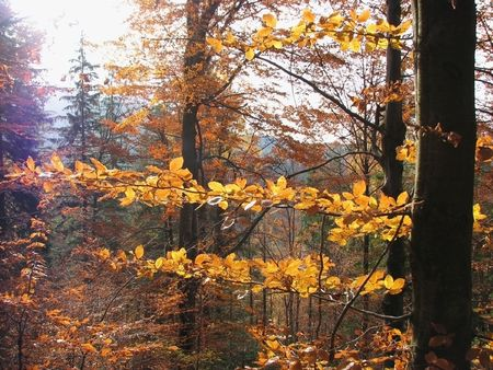 Autumnal woodland scenery. Leaf fall in the Carpathian Mts. Yellow branches in the beech forest.