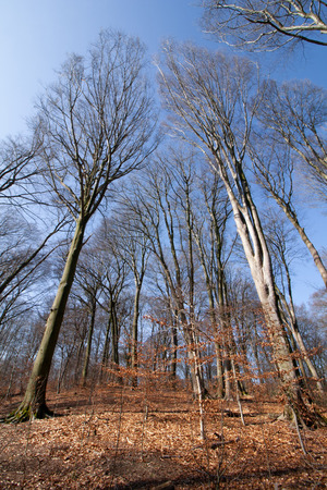 Very tall trees, extreme perspective, photographed in the Süchtelner Heights, Viersen, Germany