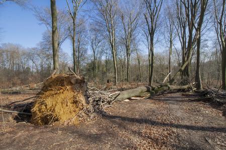 Fallen tree in Viersen-Suchteln after the storm Friederike 2018