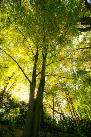 A big green tree - The yellow sun shines through the tall treetop - tall and high - Photographed in Viersen, Germany