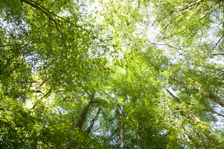 Green treetops in the sunshine in summer, photographed in the forest in Viersen, district of S?chteln, Germany