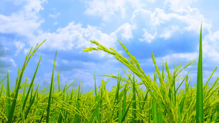 landscape fields and beautiful blue sky background in countryside landscape of japan looks fresh and perfect agriculture.