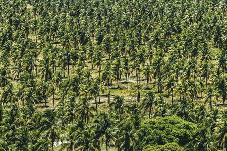 Massive farm of coconut trees in Brazil Reklamní fotografie