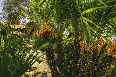 Palm fruits grow on a arid landscape Reklamní fotografie