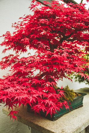 Exotic red bonsai blossoms during spring