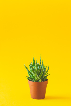 Single succulent in a vibrant yellow background Reklamní fotografie