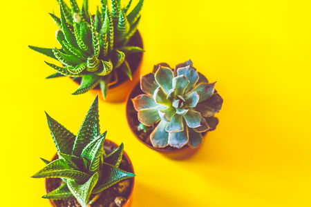 Flat layer of succulent in a bright yellow background Reklamní fotografie