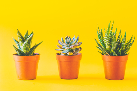 Succulents in a yellow vibrant background