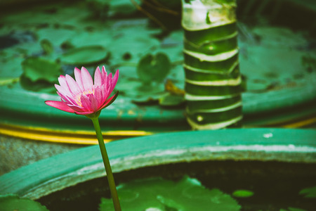 Lotus flower in a green background