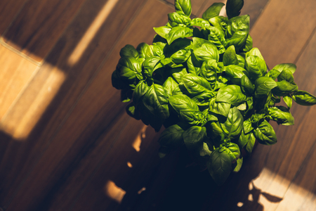 Basil plant grows in an indoors environment Reklamní fotografie