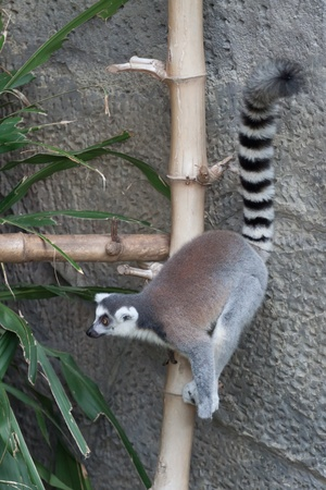 Ring-tailed Lemur before jump, Khao-Kheow zoo, Thailand photo
