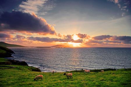 blasket islands: sheep grazing at sunset overlooking the blasket islands on west kerry coast