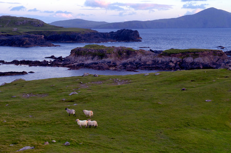 achill: sheep at twilight on cliffs overlooking Clew Bay, Co.Mayo, Ireland