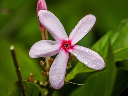 Shrub Vinca (Kopsia fruticosa) Stock Photo