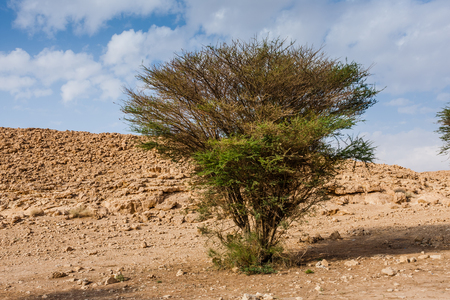An acacia tree in the desert, Saudi Arabia