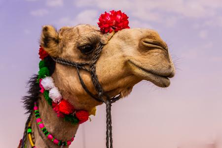 A Camel Beauty