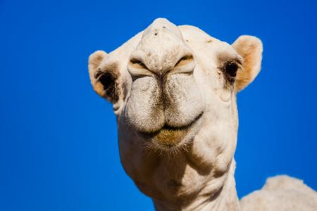 A white dromedary camel, Saudi Arabia Stock Photo - 107207378