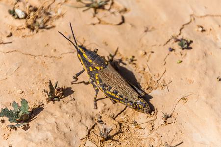 A female of grasshopper Poekilocerus bufonius (Klug, 1832) spotted near Riyadh